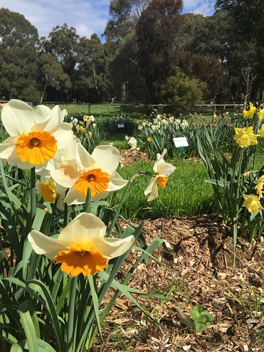 daffodils, flower, gardens, peace, mount dandenong