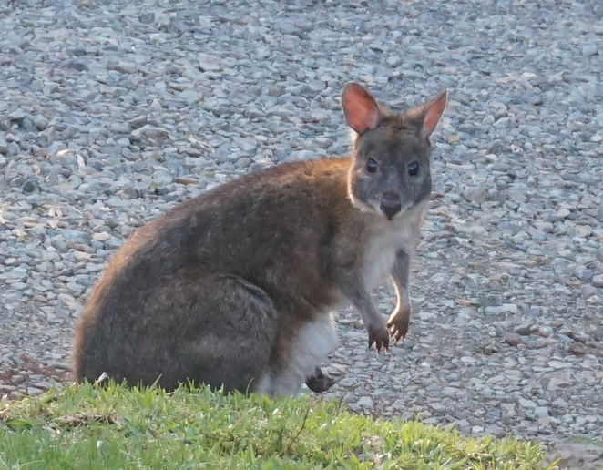 Pademelon with baby