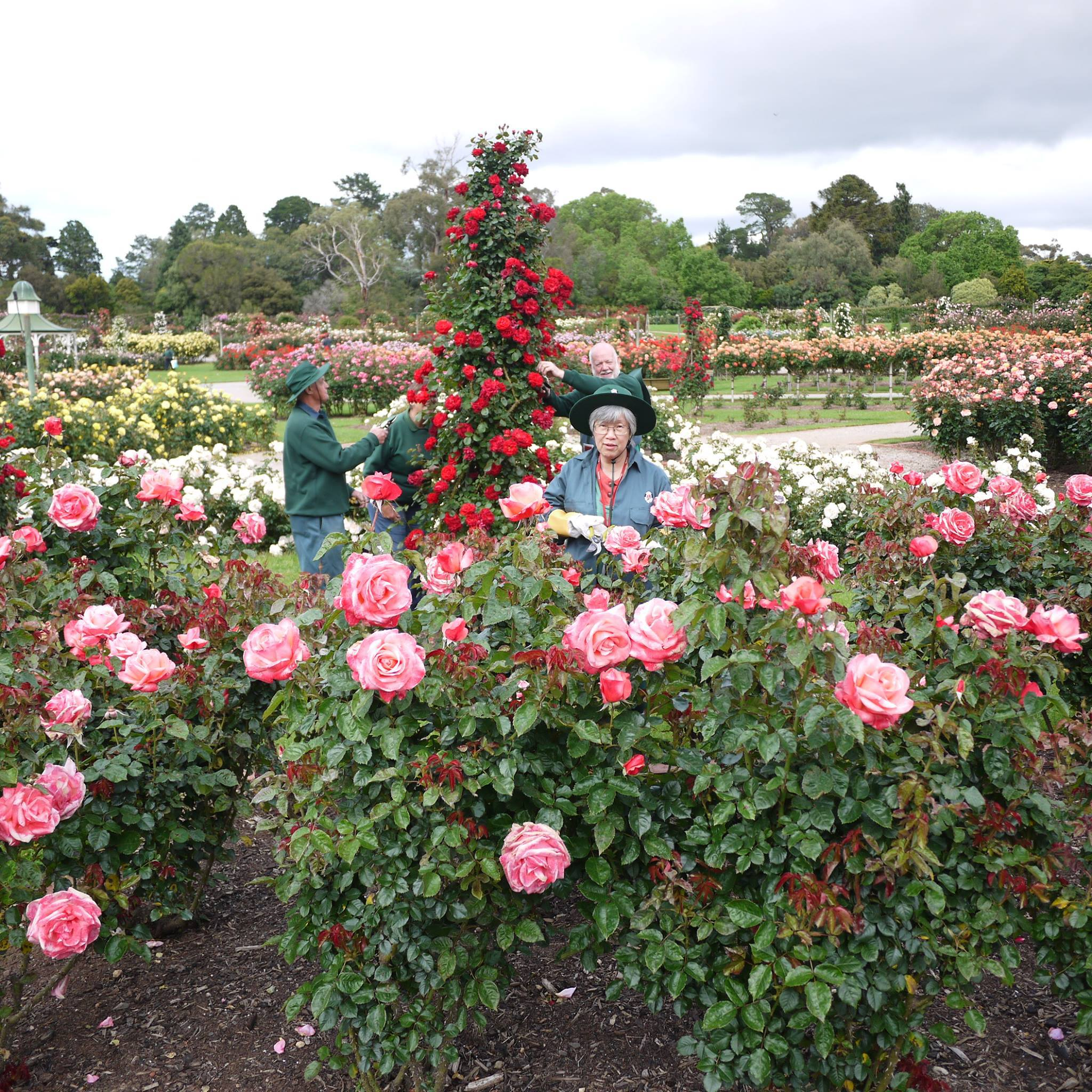 Where Is Melbourne's Best Rose Garden?