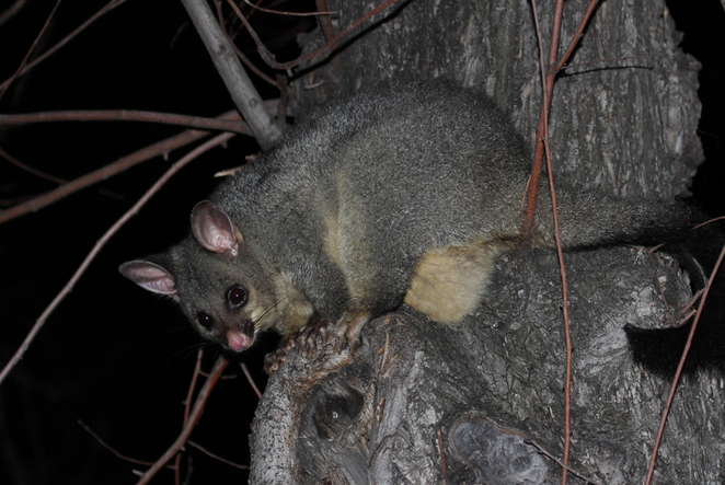 South Australian wildlife, South Australian tourism, Wildlife photography Wildlife stories, Victoria Park brushtail possum