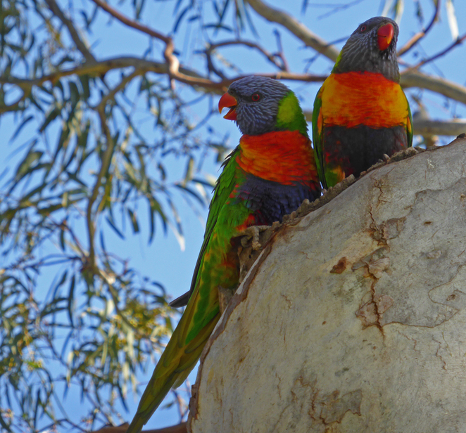 South Australian wildlife, South Australian tourism, Wildlife photography Wildlife stories, Victoria Park, rainbow lorikeets
