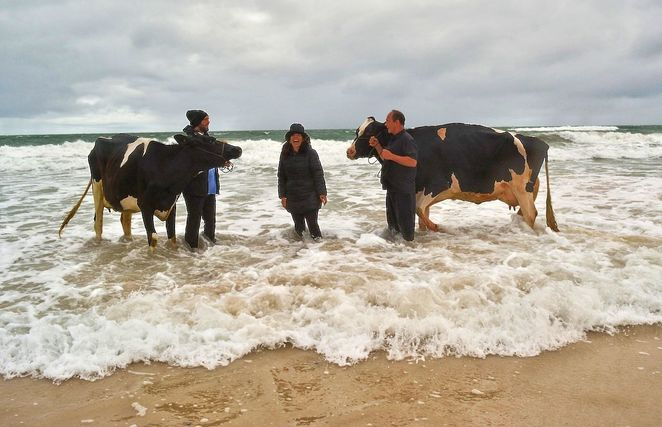 Surreal Seaside Protest, Andrew Baines, Adelaide, free, Henley , Henley Beach, artist, Dachshund, surreal, dairy cows
