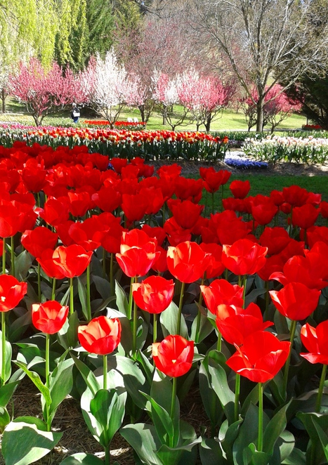 tulip top festival 2016, tulip top gardens 2016, festivals in canberra, festivals in NSW, floriade, canberra, 2016