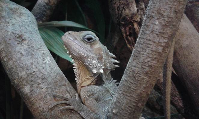 Boyds Forest Dragon, Canberra reptile Zoo, Gold Creek