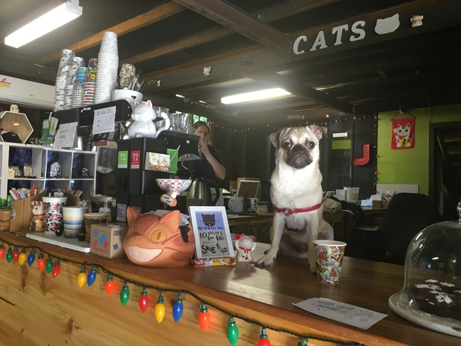 cat cafe, cats, cafe, annerley, brisbane, animal, coffee, charity, adopt