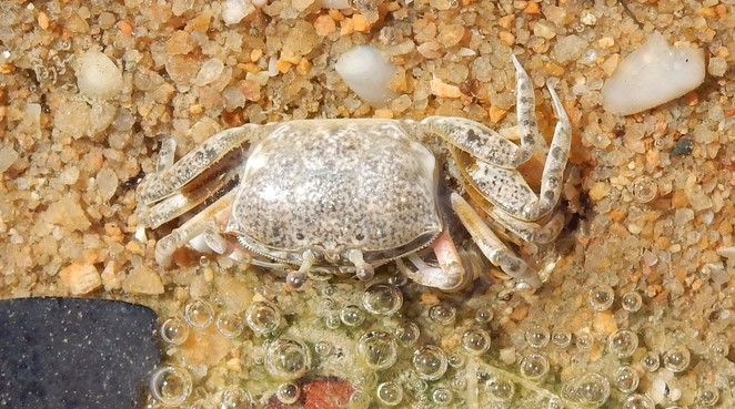 crab, beach, Bushland Beach, Townsville, Queensland, shallows
