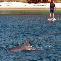 dolphin, paddle