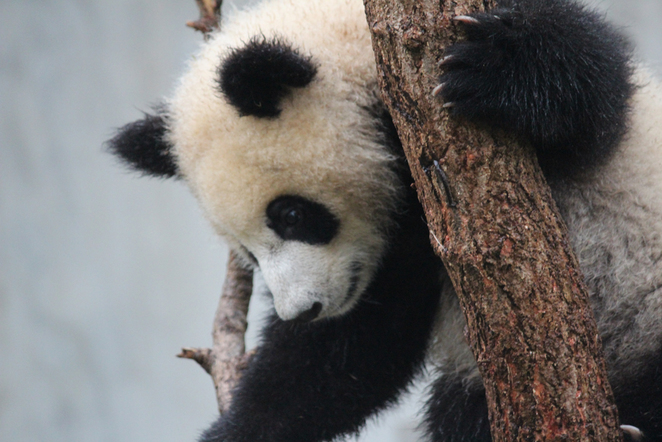 pandas, baby pandas, baby animals, cute animals, chengdu panda base