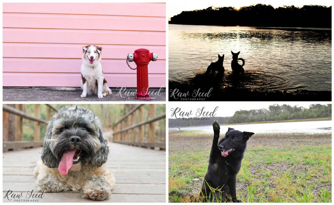 raw seed photography, pet photography, brisbane, studio, on location, small business, pug, dog friendly, things to do with your dog, studio, animals, pets, beach, dog park, action shot
