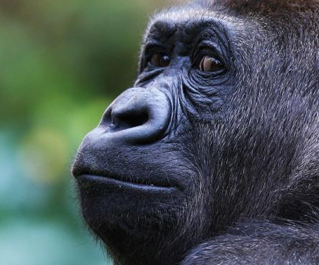 used phones, mobile phones, donate, gorilla, zoos victoria