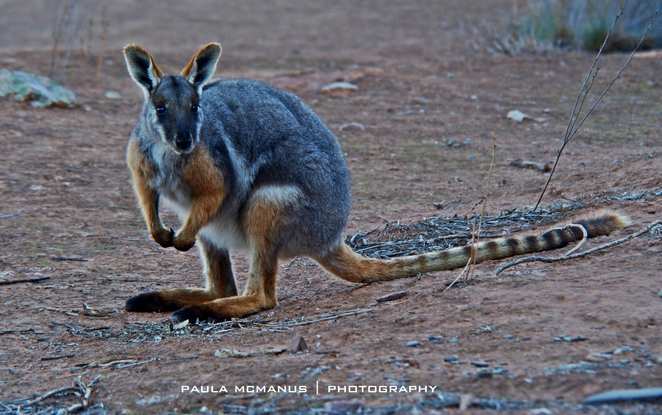 Yellow Footed Rock Wallaby in Brachina Gorge, Flinders Ranges