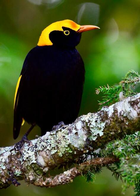 A regent bowerbird above the Black Booyung Walk