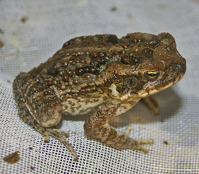 cane toad, cane toad races, australia day collum