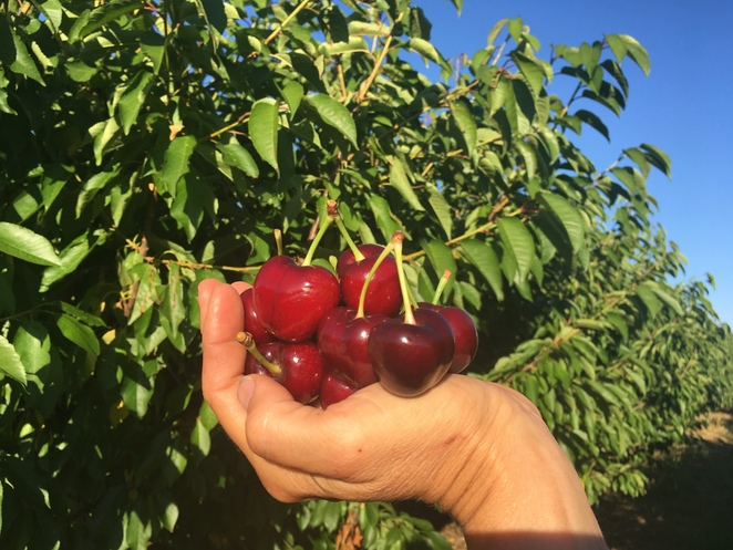 cherry picking, fruit picking, Roth Family Farm, Mudgee Central West NSW Australia