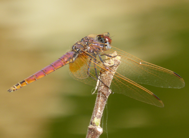 dragonfly in foliage