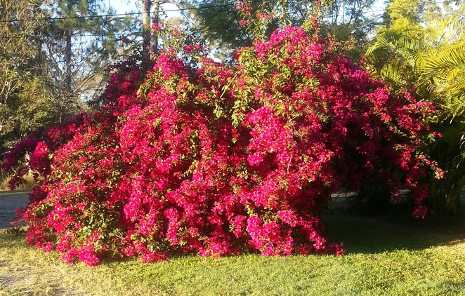 Garden, Bushes, Bougainvillea, Winter