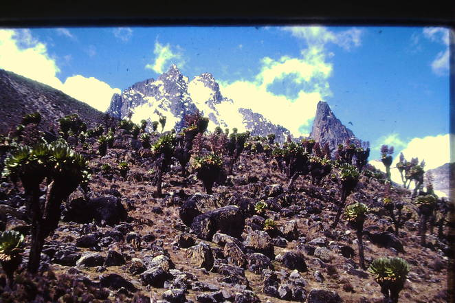 Giant Groundsel Mt Kenya