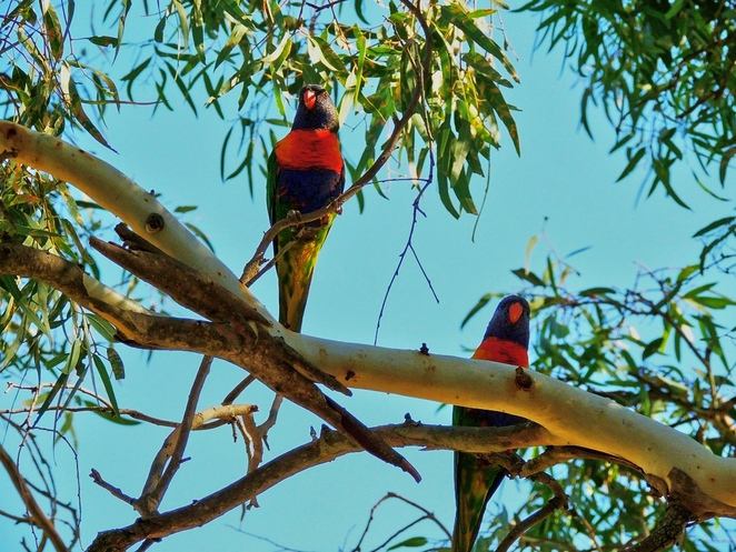 in adelaide, south of adelaide, parks in sa, adelaide hills, walking and hiking, off leash area, mountain biking, blackwood forest, recreation park, lorikeet