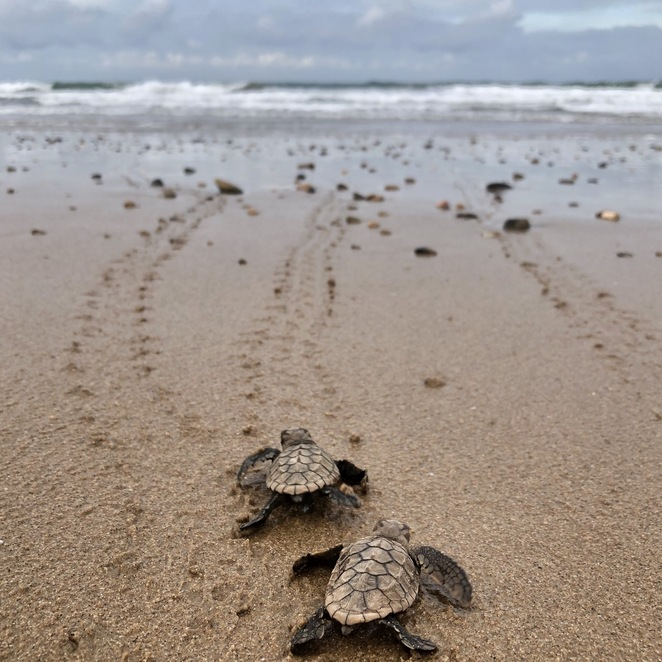 Mon Repos young turtles
