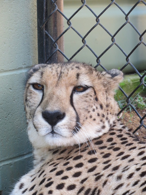 canberra zoo and aquarium meet a cheetah