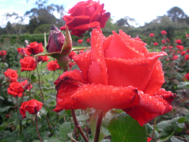 red,roses,dew,state,garden
