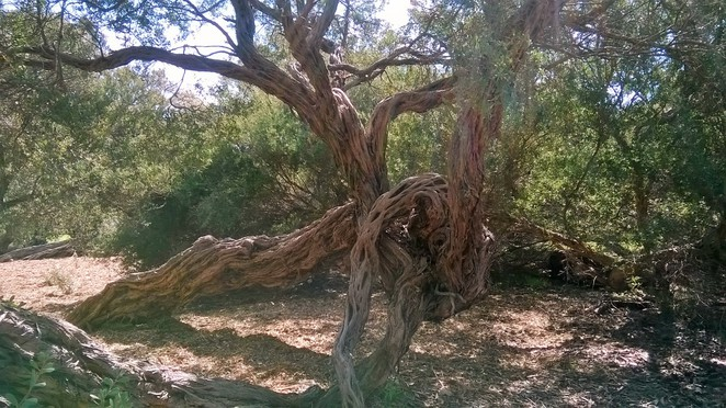 twisted tree, tortured tree, beauty park, parks in frankston, parks in melbourne, australian native trees, trees of the coastline