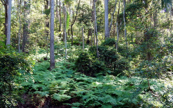 The lush forest of Beerburrum West State Forest