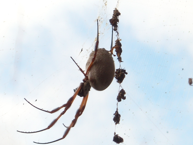 Watch out for Orb Spiders - Photo Tricia Ziemer