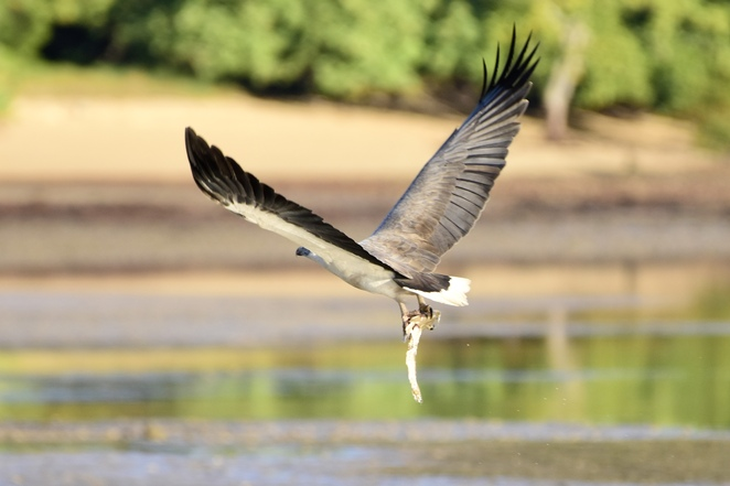 A white bellied sea eagle catching a flathead at Morwong Beach at low tide