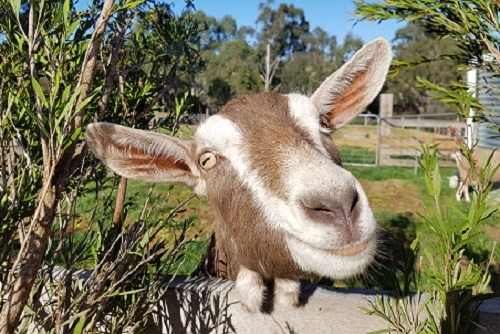 farm, kids, experience, edendale, goat, school holidays