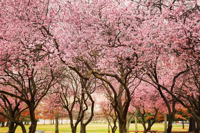 Floriade reimagined, Floriade 2020, where to see Floriade in 2020, Canberra festivals, Floriade Canberra, where to see spring flowers in Canberra, tulip tops gardens, Canberra spring blossoms, cherry blossoms Canberra