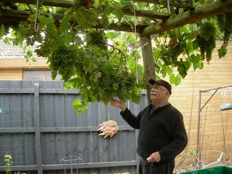 Home winemaker Nick Tavilla admiring his trellised grapes ready for vintage
