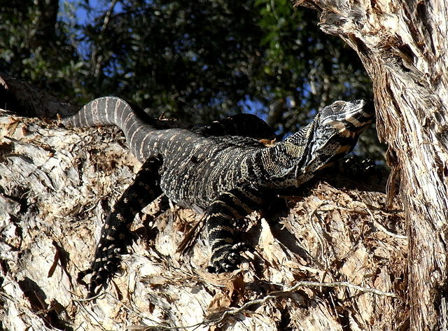 Lace monitor lizard
