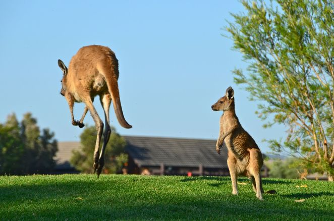 pet friendly accommodation, the vines resort & country club, short term pet friendly accommodation, pet friendly swan valley,