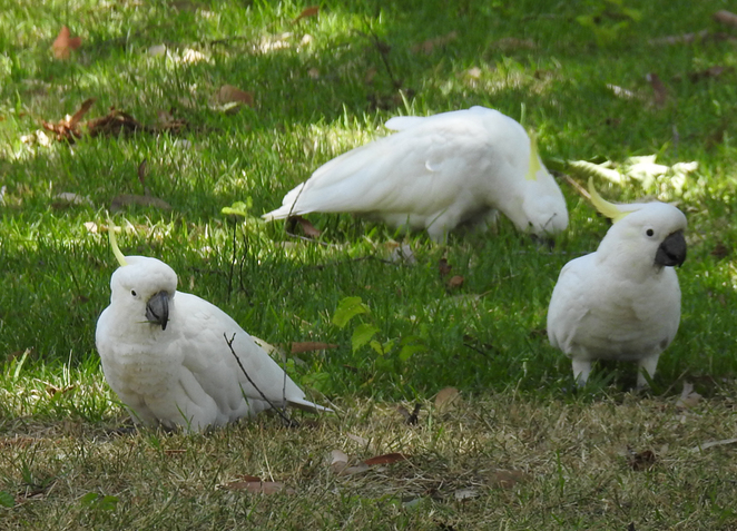 South Australian wildlife, South Australian tourism, Wildlife photography Wildlife stories, East Parklands, Parrots, Panini, Adelaide tourism, Bocelli