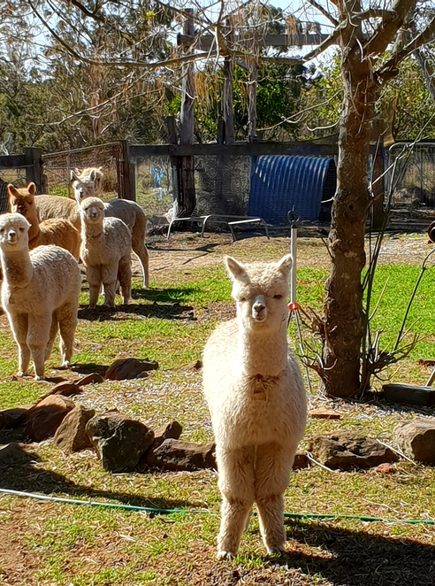 Alpaca, farm visit, family, nature, Southern Highlands, children, outing