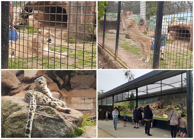 billabong zoo, lioness, snow leopard, koalas, port macquarie, NSW, australia, zoo, kids, children, family, tourist attractions, family, things to do,
