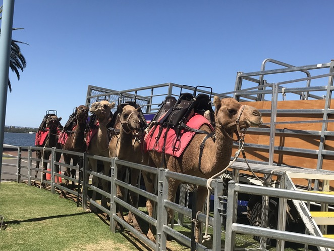 camel west camel tours, camel rides perth, perth city camel ride, camel riding, camel hire, camel west