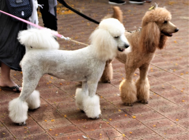 Dogz in the Wood, dogs, dog show, poodles, markets. Inglewood on Beaufort Monday night markets