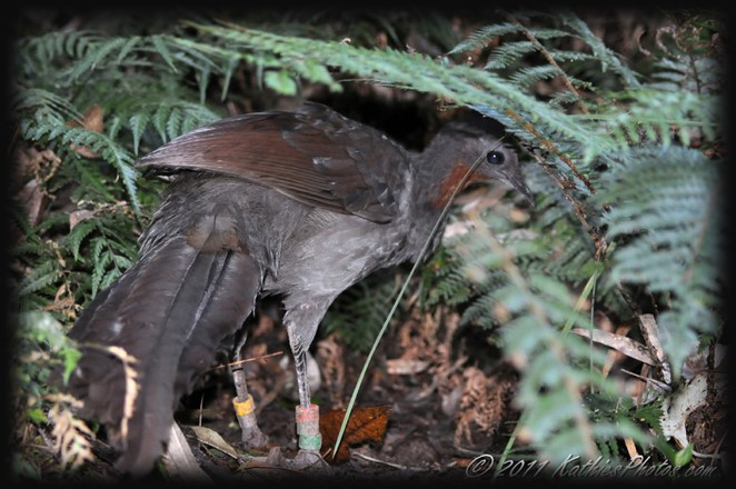 Lyrebird, Upper Ferntree Gully