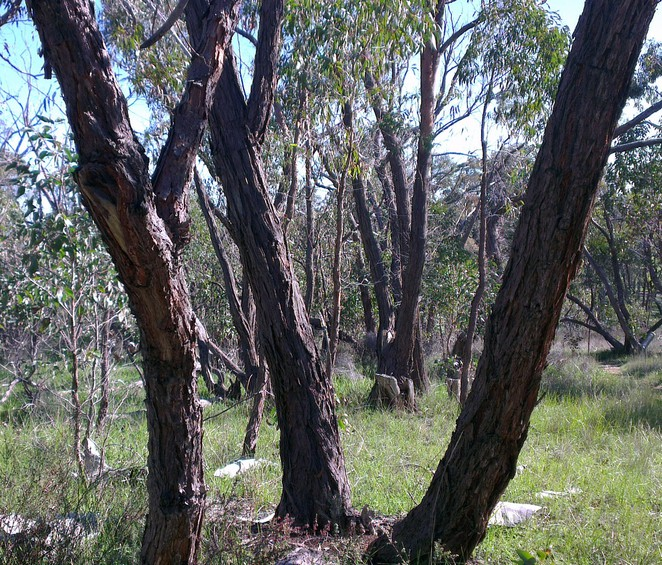 Spring Gully Conservation Park, Cascades Walking Track, Red Stringybark Trees
