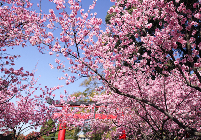 cherry blossom festival, sydney, family fun, japanese food