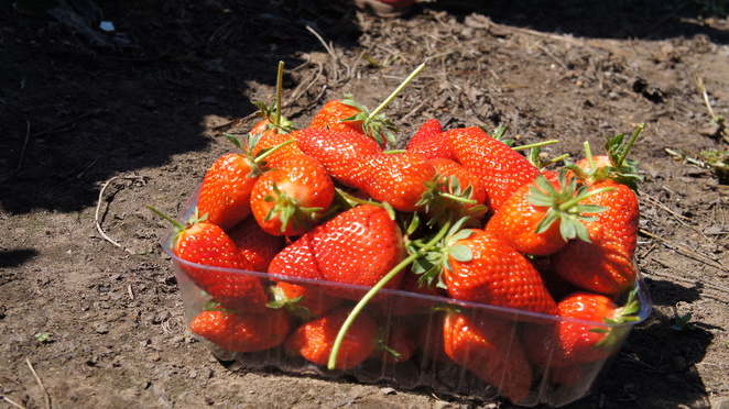 Hillwood Strawberry Farm, strawberry farm, strawberries, fruit farm, fruits, Launceston, Tasmania, animals, farm animals