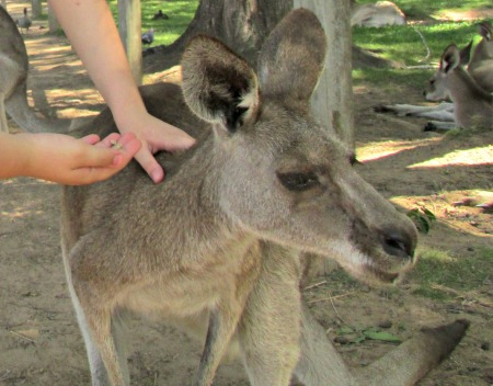 junior keeper lone pine koala sanctuary kangaroo
