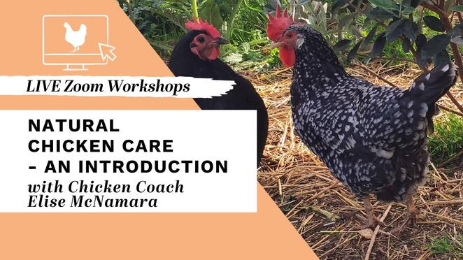 natural chicken care an introduction, chicken coach elise mcnamara, community event, fun things to do, chicken coach, chickens in your backyard, caring for chickens online workshop