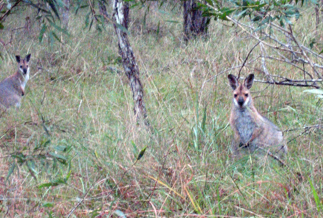 Redneck Wallabies are among the wildlife you can spot at Daisy Hill
