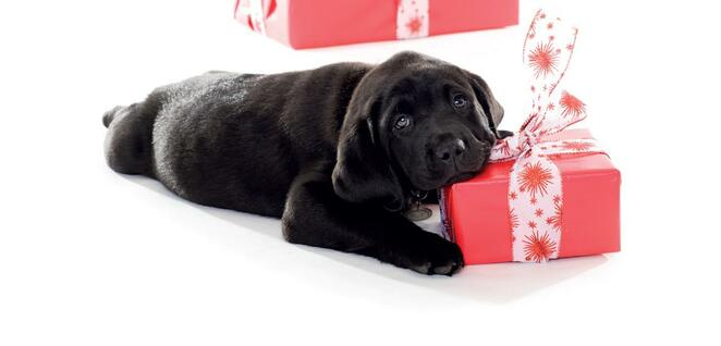 RSB puppy training, RSB dogs, Operation K9, puppy training, assistance dogs, autism assistance dogs, guide dogs