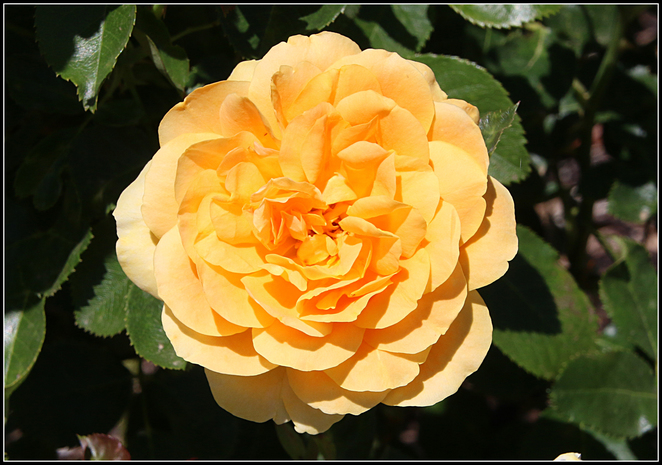 Spring, Rose, Show, 2016, yellow, flower