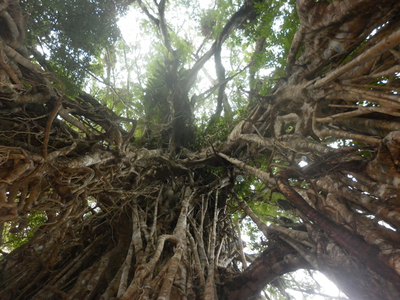 The Cathedral Fig Tree