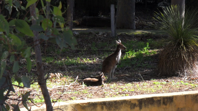 wildlife kangaroos